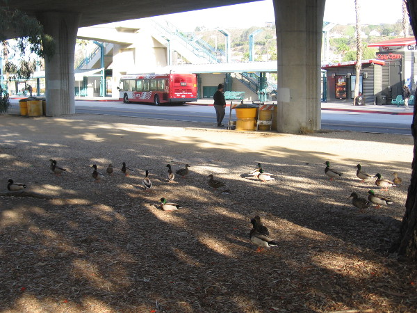 Dozens of tame river ducks like to gather by the bus station to eat crumbs offered by humans.
