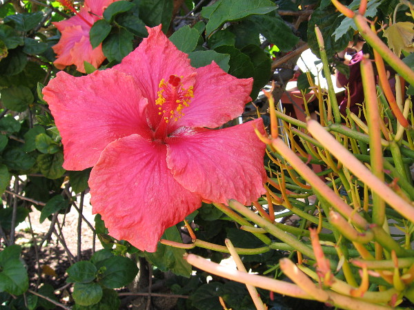 A red hibiscus behind the Fiesta de Reyes stage where visitors can watch colorful Mexican baile folklórico dancing.