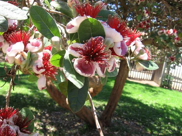 A tree has beautiful blooms near the historic Mason Street Schoolhouse.