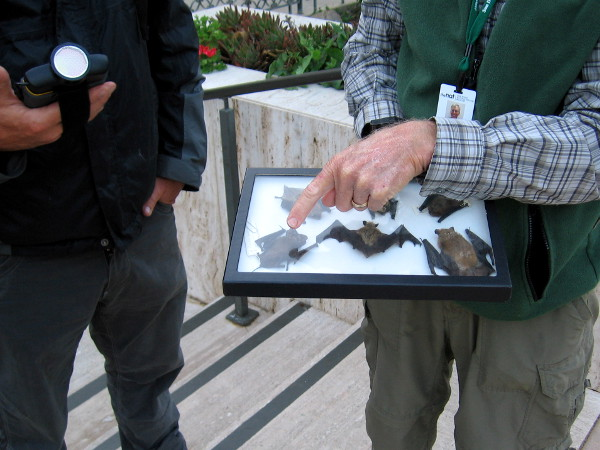 A friendly volunteer who travels around the county observing and recording bats points to several specimens. The one indicated is a Mexican free-tailed.