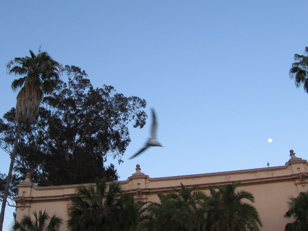 Bats often live in the dead clustered fronds of palm trees. I see a passing gull and a nearly full moon above the Casa del Prado.
