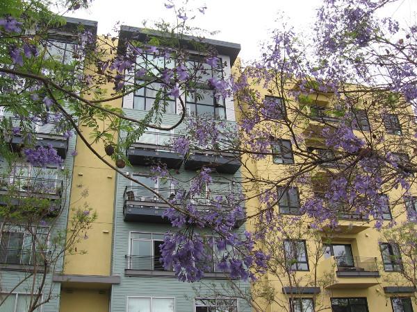 Many jacaranda trees add color to downtown San Diego's Cortez Hill neighborhood.