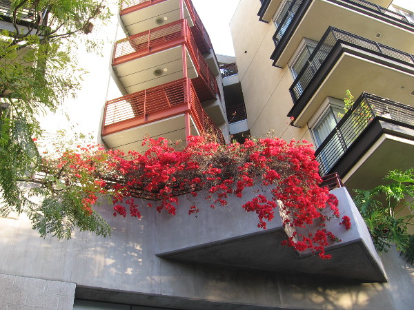 Bright red bougainvillea on a building's balcony in Little Italy.