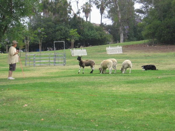 A shepherd uses a whistle to command a sheep dog to herd four sheep.