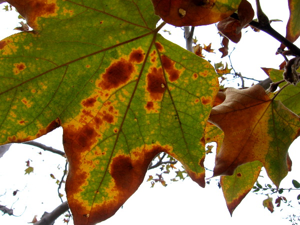 Sycamore leaves are beginning to turn along the San Diego River as autumn begins.