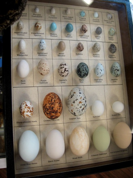 The many different birds that live at the lagoon can be identified by their distinctive eggs.