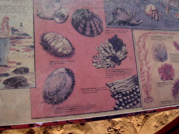 Some organisms pictured are limpets, chitons, sand castle worms, goose-necked barnacles and abalone.
