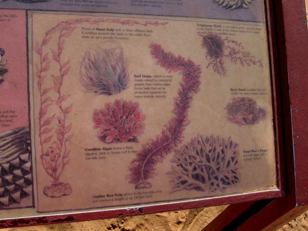 Plant life includes giant kelp, surf grass, coraline algae, rock weed, feather boa kelp and dead man's finger.