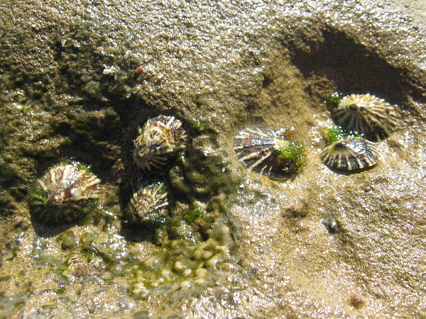 I found some limpets clinging to the wet rock.