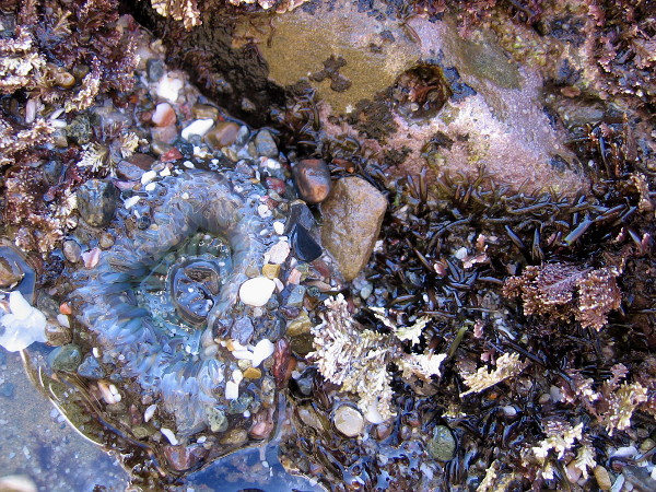 An aggregating anemone has collected fragments of shell and grains of sand.