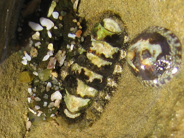 A chiton between an anemone and a limpet. Another close look at nature's awesome and infinite beauty.