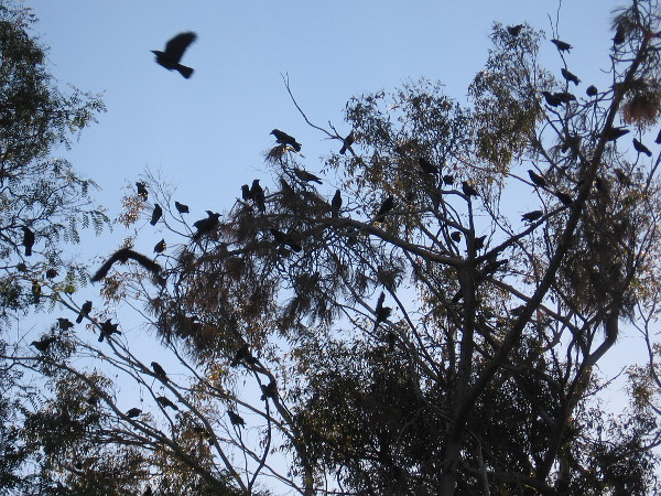 A noisy flock of crows was perched in the eucalyptus trees near the San Diego Chess Club and Balboa Park Horseshoe Club.