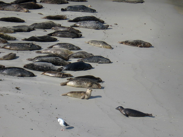 Harbor seals lie on sunny Children's Pool Beach in La Jolla. The historic Children's Pool is closed to the public during winter and early spring pupping season.