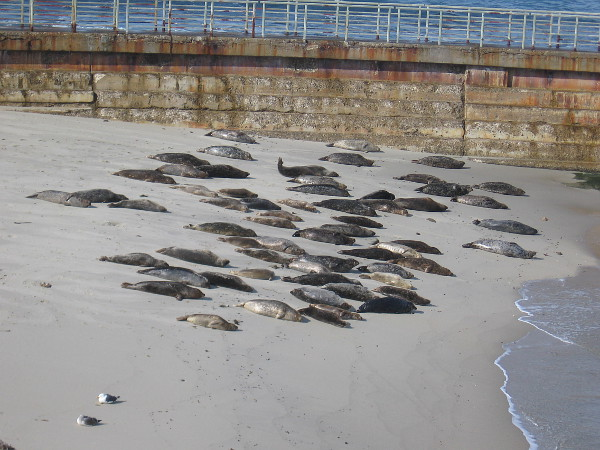 A colony of harbor seals suns on the sand near the seawall, which is off limits during pupping season.