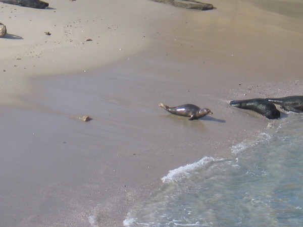 A lone seal heads to the water's edge by wriggling awkwardly on its belly.