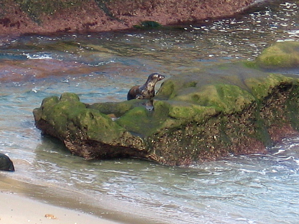 With difficulty, the harbor seal inches up onto the rock that lies just off the beach. Sea lions are much better climbers.