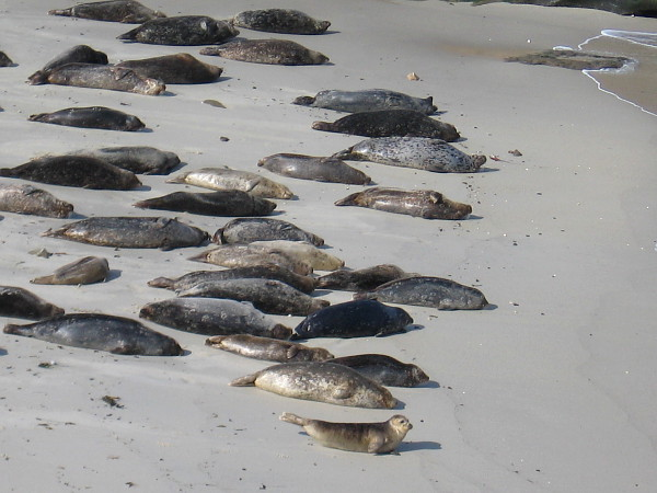 Another photo of the colony of harbor seals at The Children's Pool in La Jolla.