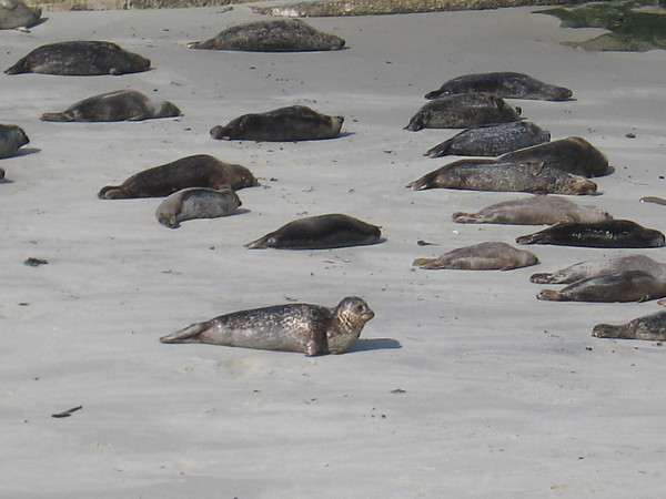 A young harbor seal enjoys a day on the beach.
