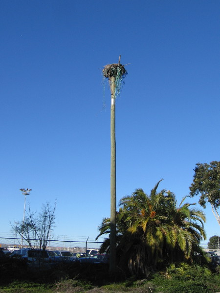 I spotted this high osprey nesting platform as I walked down Goesno Place, approaching Pepper Park. The National City Marine Terminal has many such platforms.