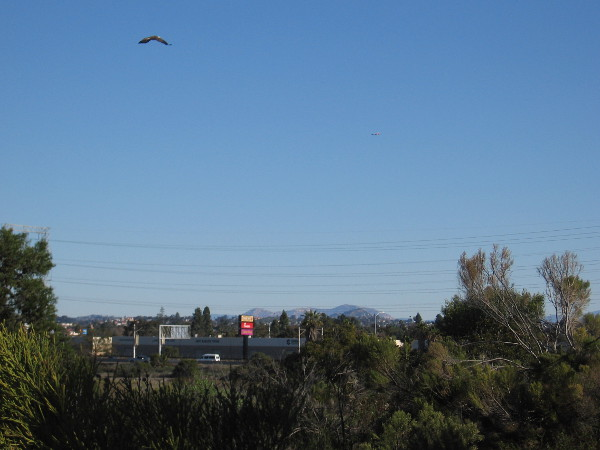 An osprey flies high above Paradise Marsh on a beautiful late December day.