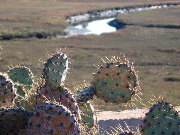 Looking past prickly pear at Paradise Marsh from the Paradise Creek Trail in National City.