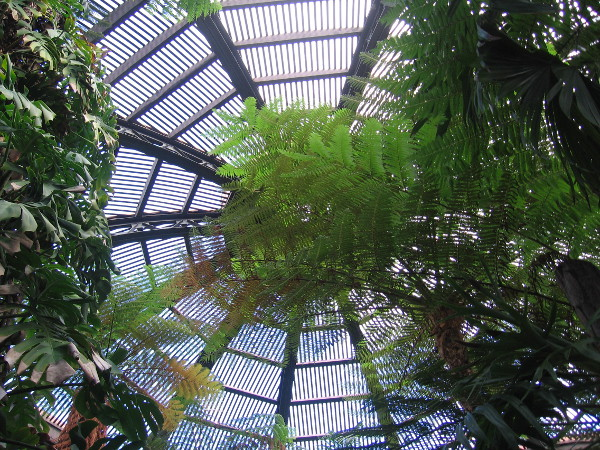 Looking up toward a lath skylight full of green magic.