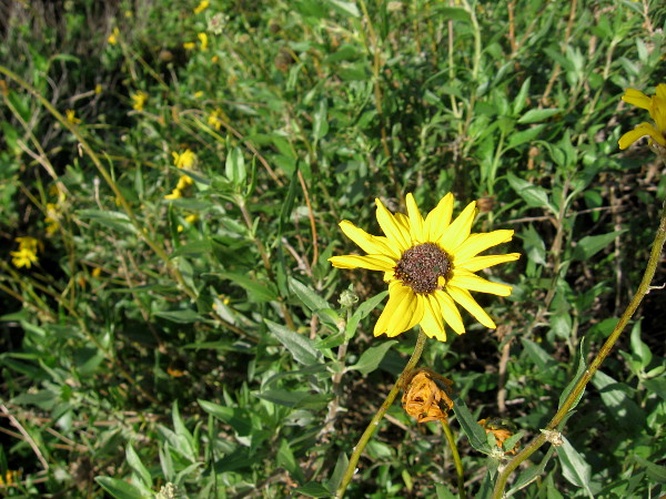 A cheerful yellow bush sunflower.