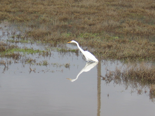 A great egret stands in Los Peñasquitos Lagoon, patiently watching for fish in the water.