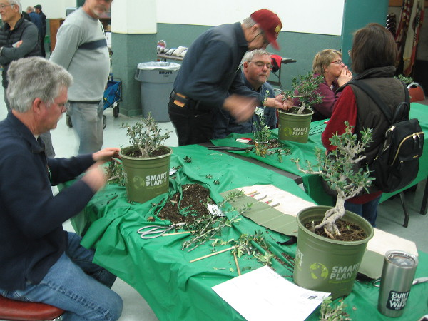 Members of the San Diego Bonsai Club work on small olive trees in the Casa del Prado.