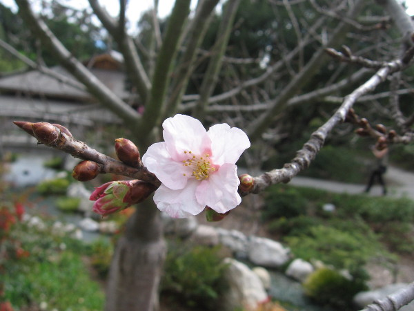 A few early cherry blossoms are blooming in February at the Japanese Friendship Garden.