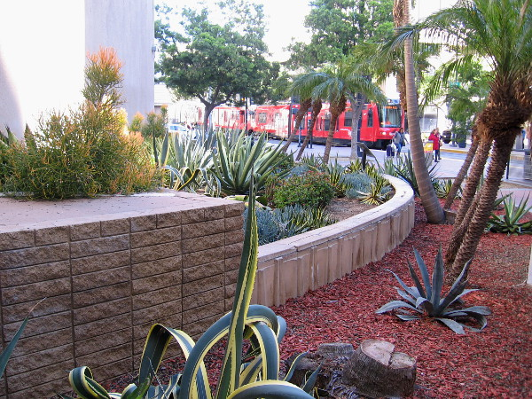 A trolley arrives at the Civic Center station near a small desert garden in downtown San Diego.