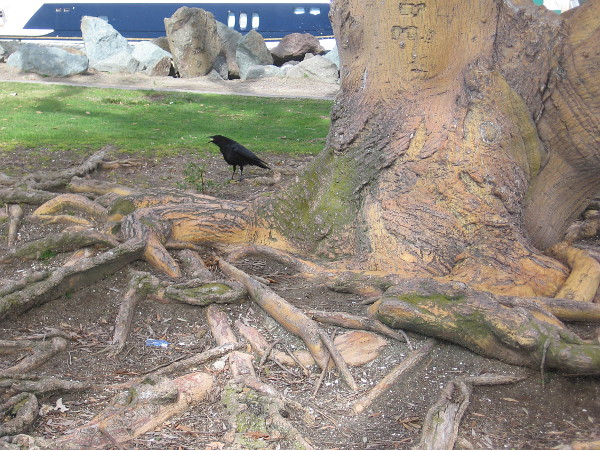 A crow on some roots.