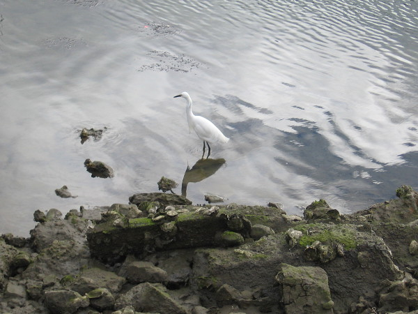 I always seem to see a snowy egret at this same spot in the Marriott Marina.