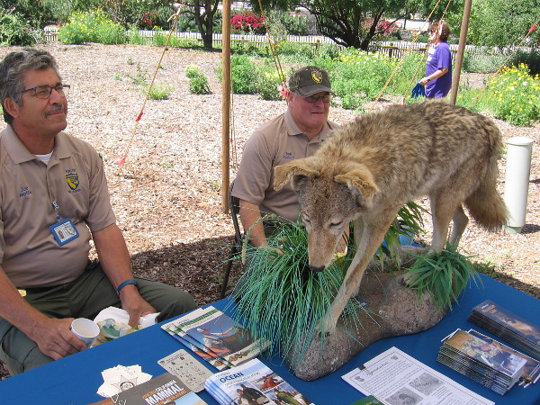 Guys with the California Department of Fish and Wildlife answered questions at their table. I believe that's a coyote.