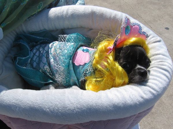 The theme this year for Pet Day on the Bay was mermaids and pirates. Looks like a mermaid to me!