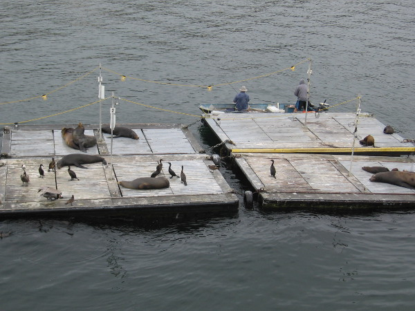 Sea lions lounge on the floating dock along with a motley group of sea birds.