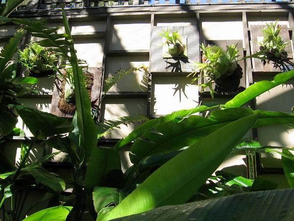 Staghorn ferns on one wall of the Botanical Building.