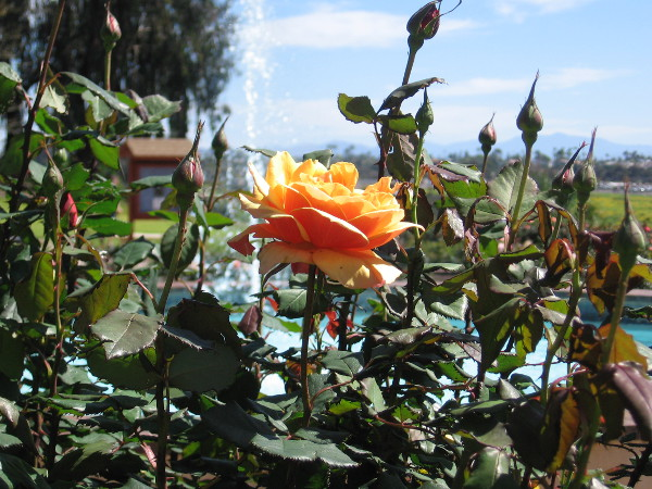 In the rose garden, aiming my camera toward the fountain.