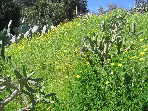 A hillside bright with cacti and native sunflowers.