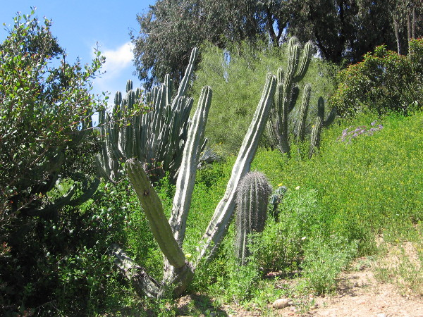 Slanting cacti.
