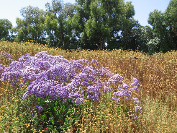 A patch of what I believe is Ceanothus, or California Lilac. A bird perched on some dry sunflowers is a gray blur in this photograph.