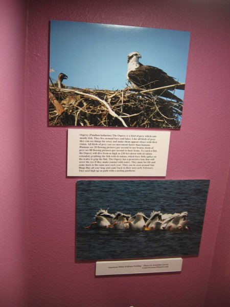 Photos of an osprey and feeding white pelicans in the museum's current exhibition, Natural History and the Indigenous People of the South Bay.