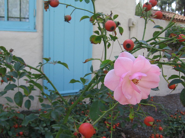 A late bloom at the International Cottages.