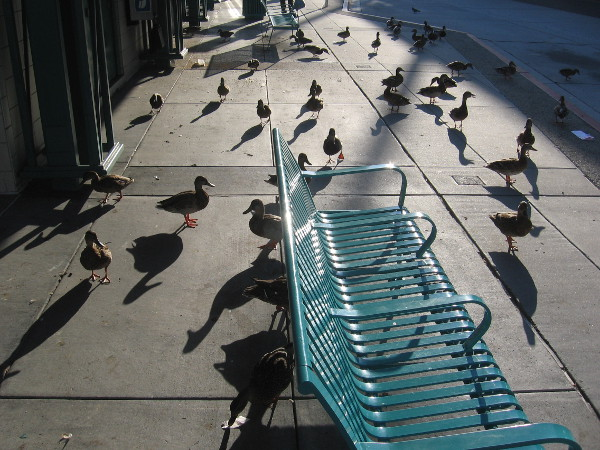 A flock of ducks waits for a bus at the Fashion Valley Transit Center.