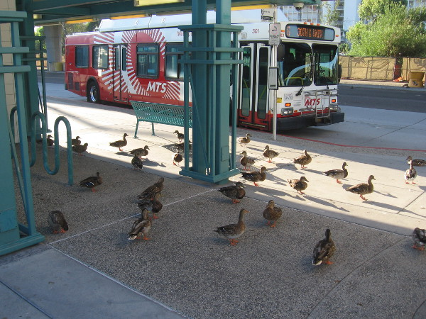 Ducks prepare to board a waiting bus.