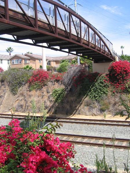 Red bougainvillea and the Cliff Street bridge over train tracks.