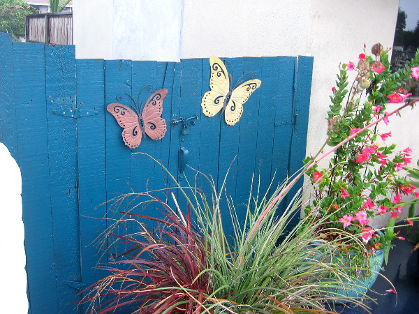 Butterflies on a blue fence.