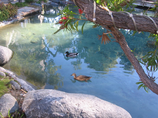 Ducks enjoy a swim in the Seaport Village pond.