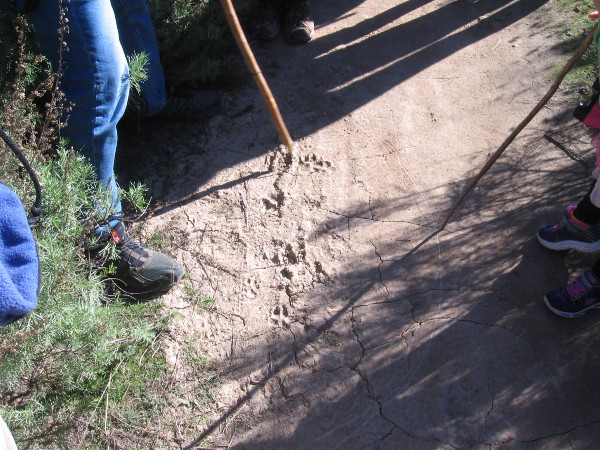 We saw lots of dog tracks in dried mud. The heavy front pads indicate a breed with a forward center of gravity. Coyotes have much neater, straighter tracks.