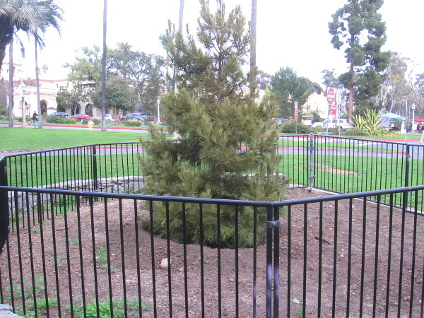 Balboa Park has a healthy new Community Christmas Tree!